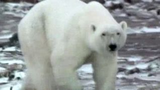 ABC World of Discovery: Polar Bear - Arctic Terror