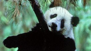 Nature: The Panda Baby