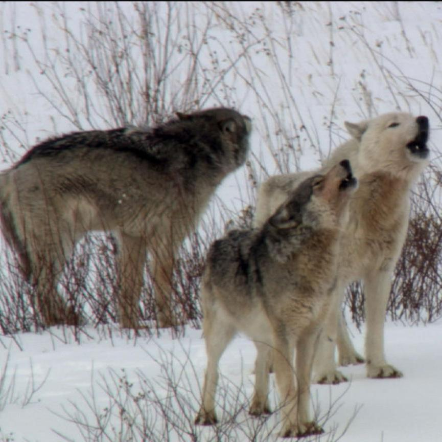 Nature: Cold Warriors - Wolves and Buffalo