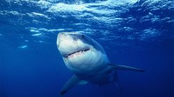 National Geographic: Great White Shark