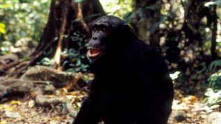 Nature: Jane Goodall's Wild Chimpanzees
