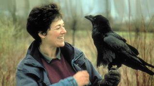 Nature: Ravens - Intelligence in Flight