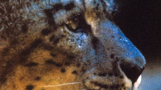 Nature: Silent Roar - Searching for the Snow Leopard
