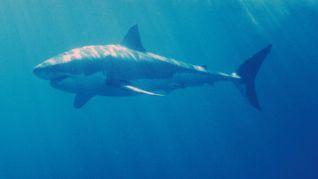 Nature: White Shark/Red Triangle