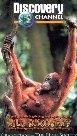 Orangutans---The High Society