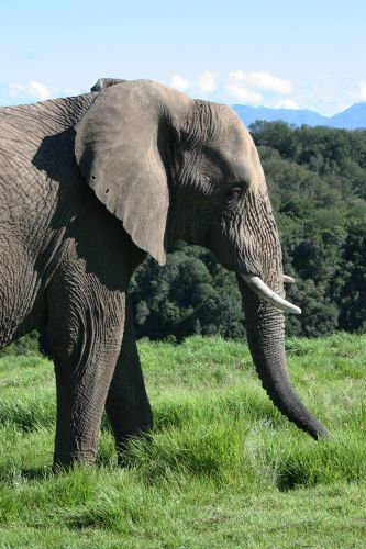 Search for the Knysna Elephants