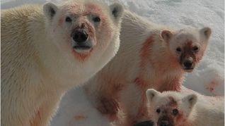 Nature: Great White Bear
