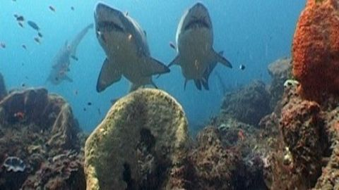 Nature : Sharkland