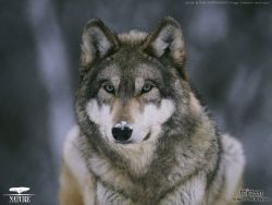 Nature: In the Valley of the Wolves