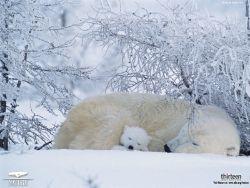 Nature: Arctic Bears