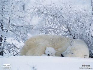 Nature : Arctic Bears