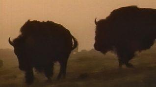 Nature: American Buffalo - Spirit of a Nation