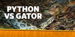 Python vs. Gator