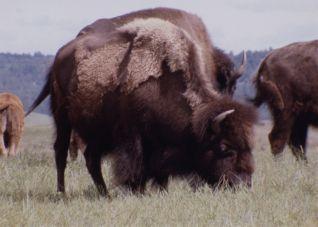 America's Lost Landscape: The Tallgrass Prairie