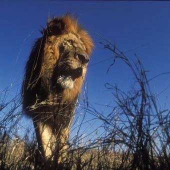 Lion: Spy in the Den