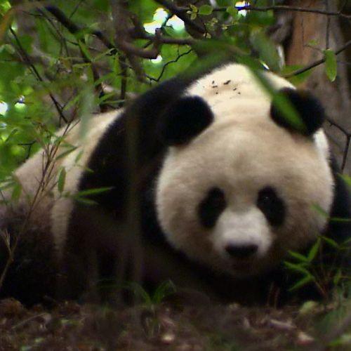 Pandas in the Wild