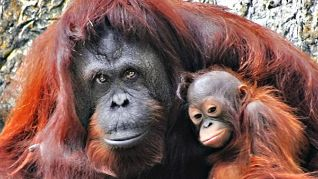 ABC World of Discovery: Orangutans - Children of the Forest