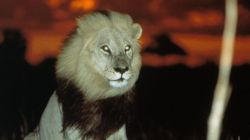 National Geographic: Lions of Darkness