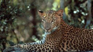 Nature: The Leopards of Yala