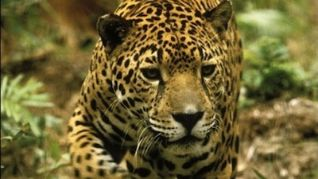 Nature: Jaguar - Year of the Cat