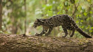 National Geographic: Return of the Clouded Leopards