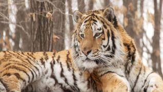 Nature: Siberian Tiger Quest